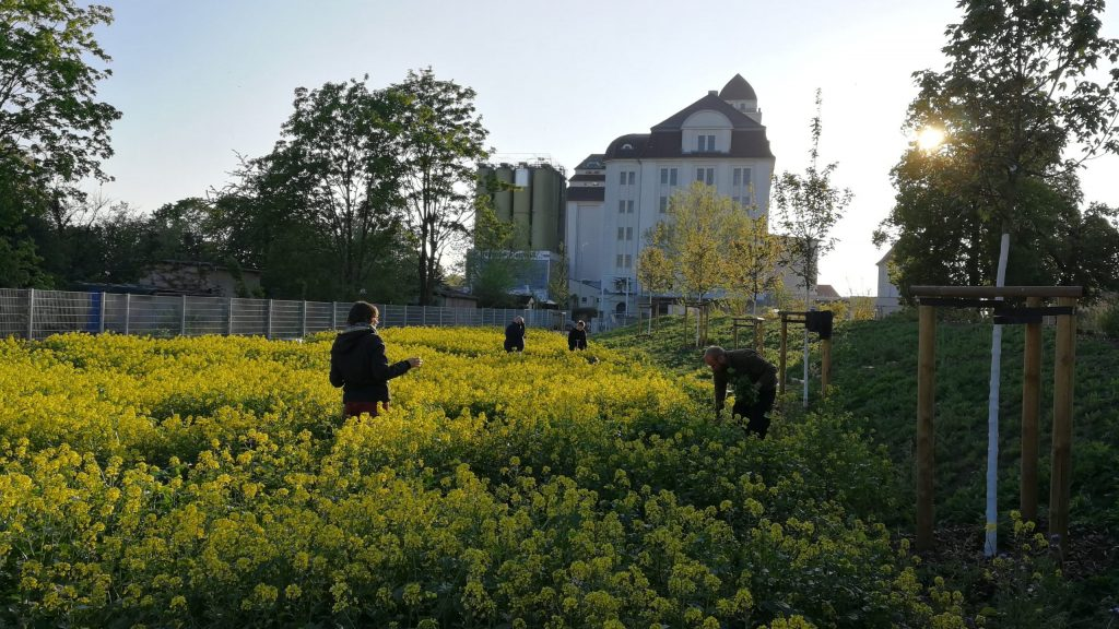 Gärtner beackern die Zwischenfrucht am Alberthafen. (Paul Stadelhofer)