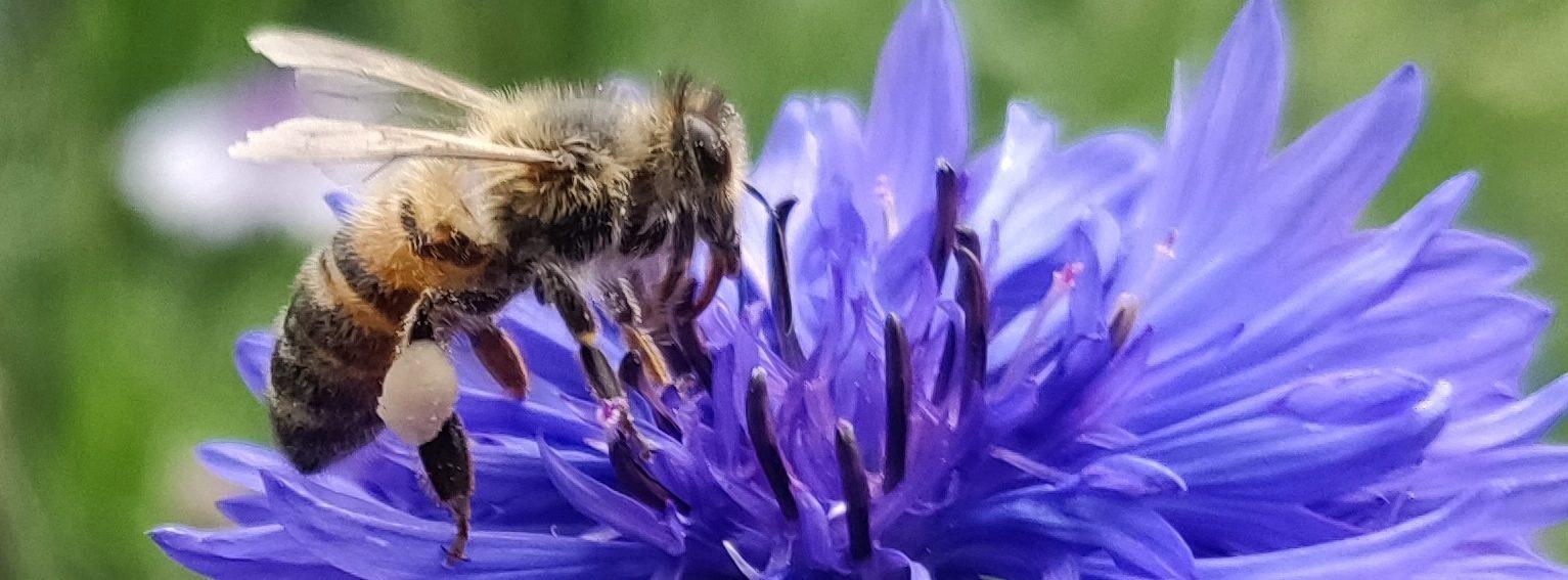 Eine Biene auf einer Kornblumenblüte. (Paul Stadelhofer)