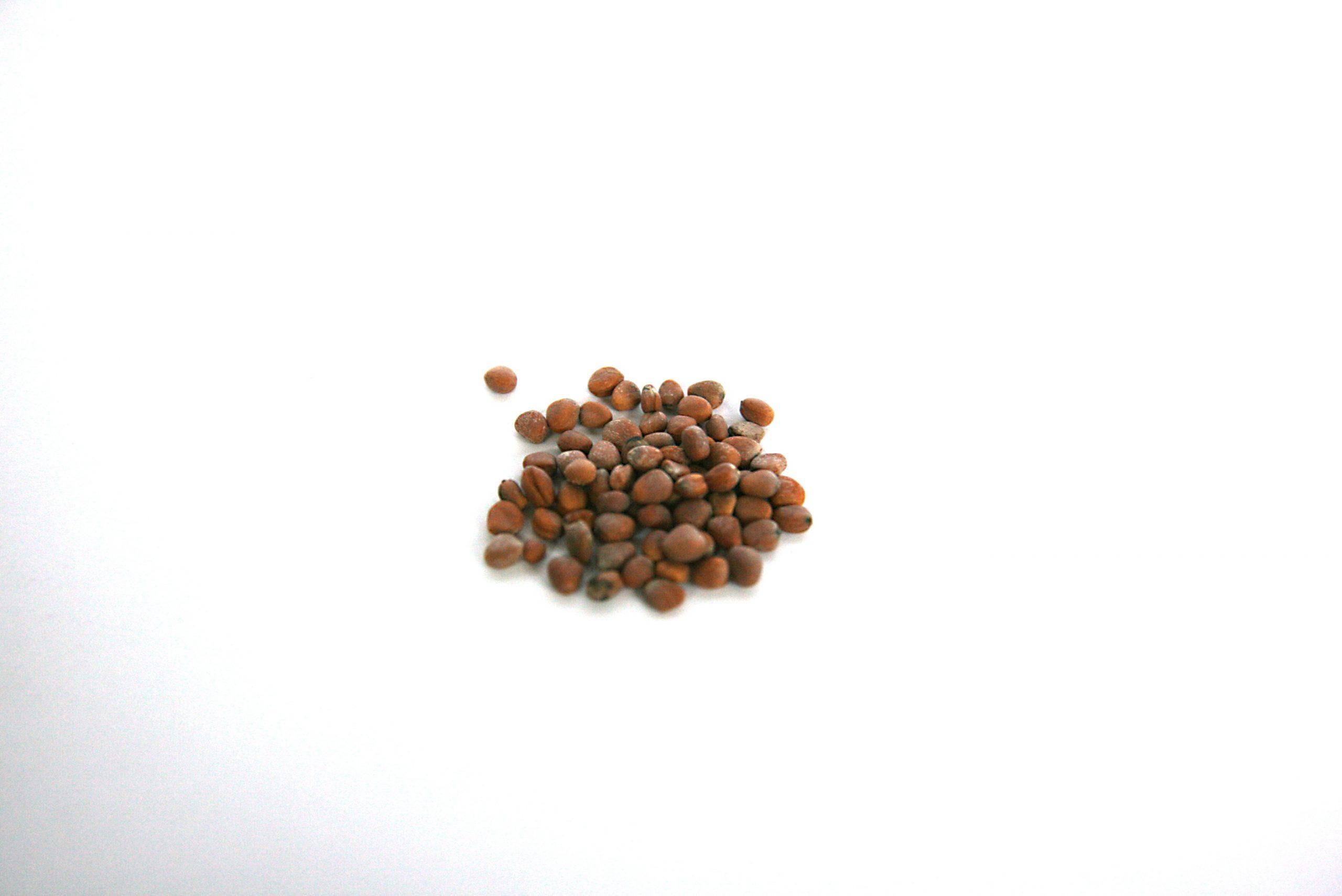 Radieschen Saatgut