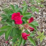Essbare Rose, Blütenstand, GEH8 Kunstraum
