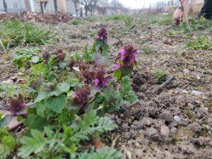 Die ersten Taubnessel-Blüten auf der noch wilden Gartenfläche an der Gehestraße.