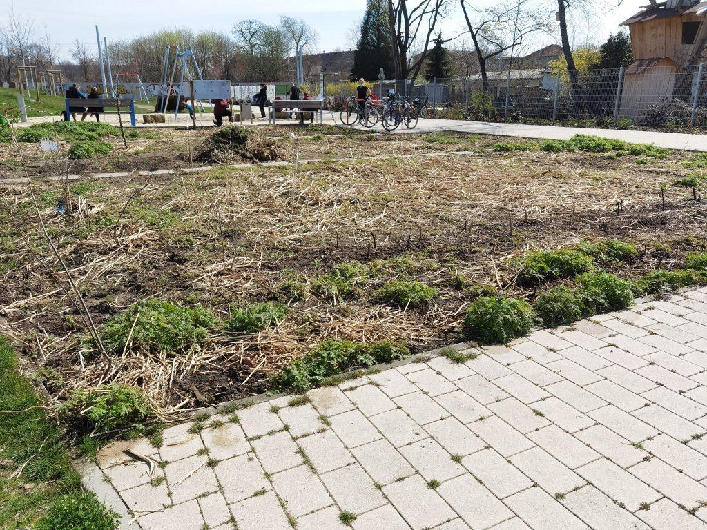 Die essbare Hecke im offenen Garten am Alberthafen. Die Phacelia aus der Gründüngung vom Vorjahr treibt wieder aus.
