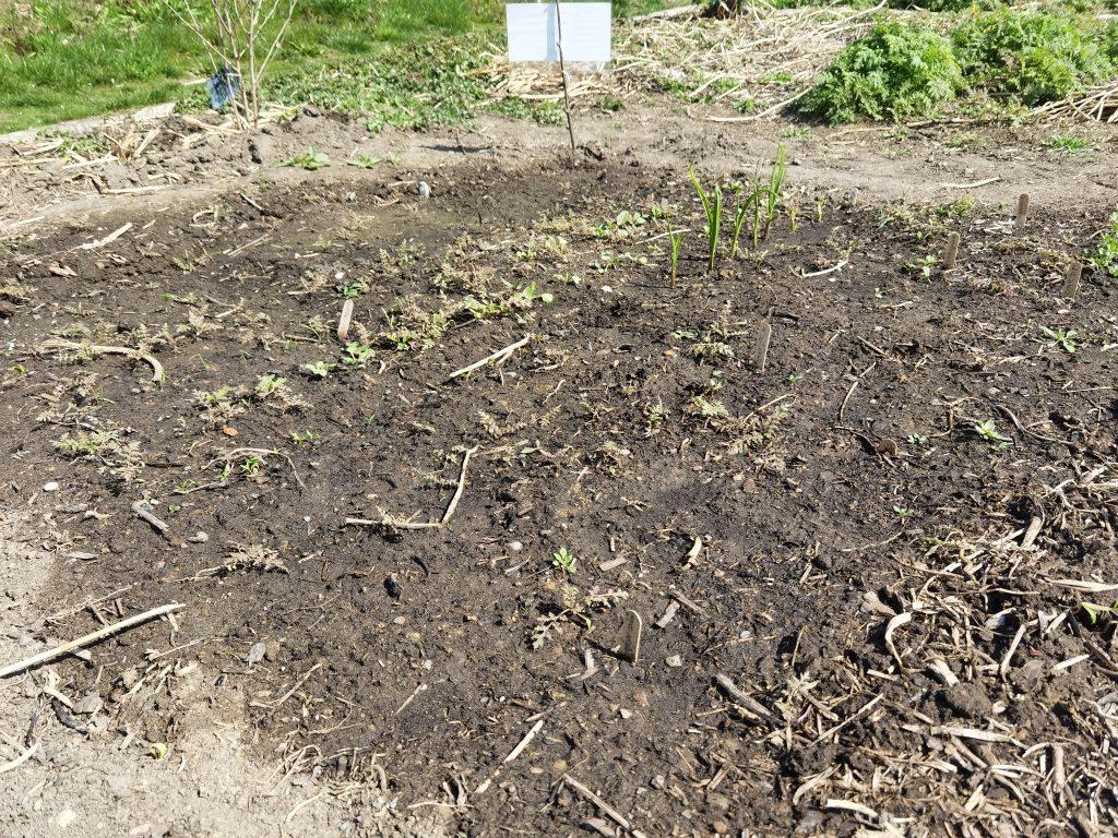 Im Frühbeet wachsen unter anderem Knoblauch, Bergerbsen und Radieschen.