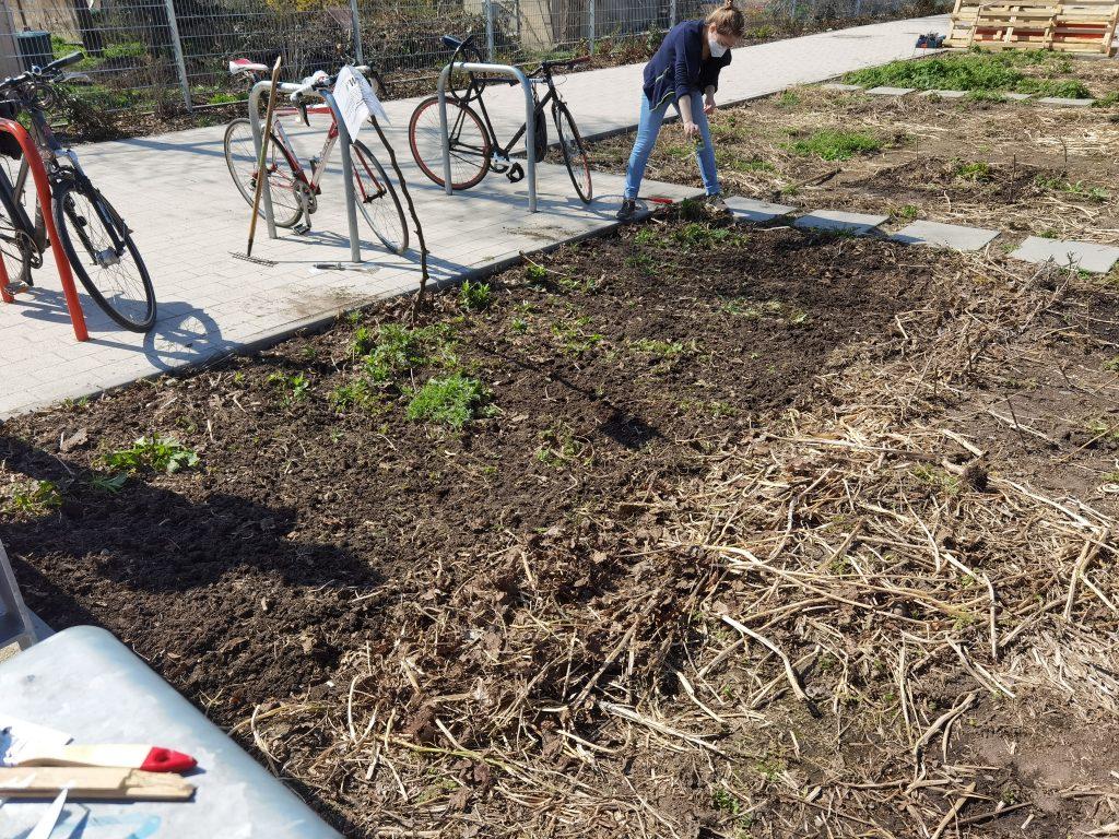 Eine bunte Mischung aus Sonnenblumen, Kornblumen und Ringelblumen treibt auf dem Blühstreifen am Fahrradständer neu aus.
